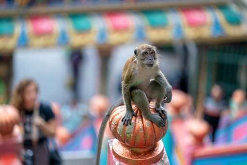 Beware Batu Cave Monkeys! Helpful Tips For Visitors